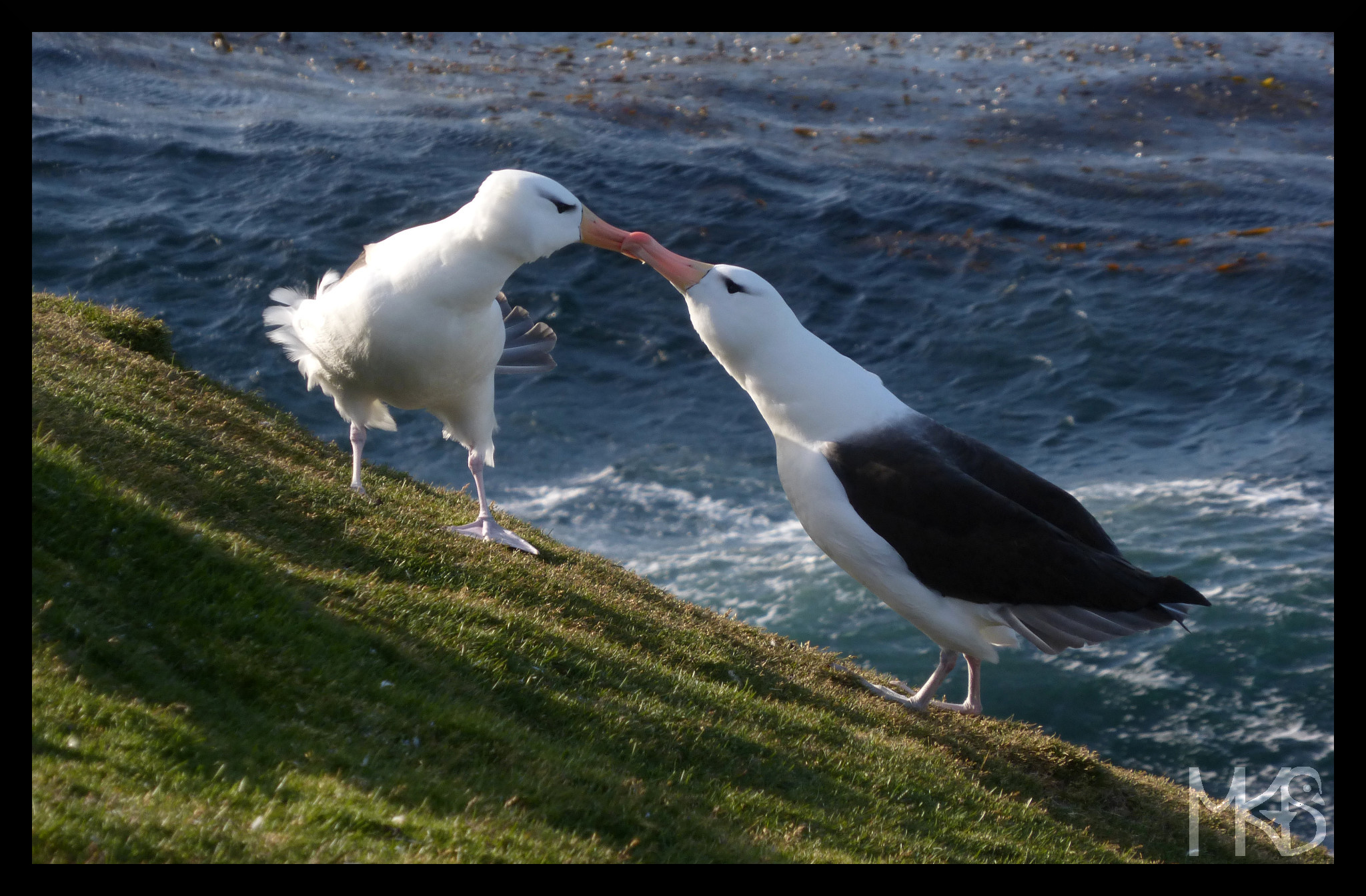 Kissing albatrosses