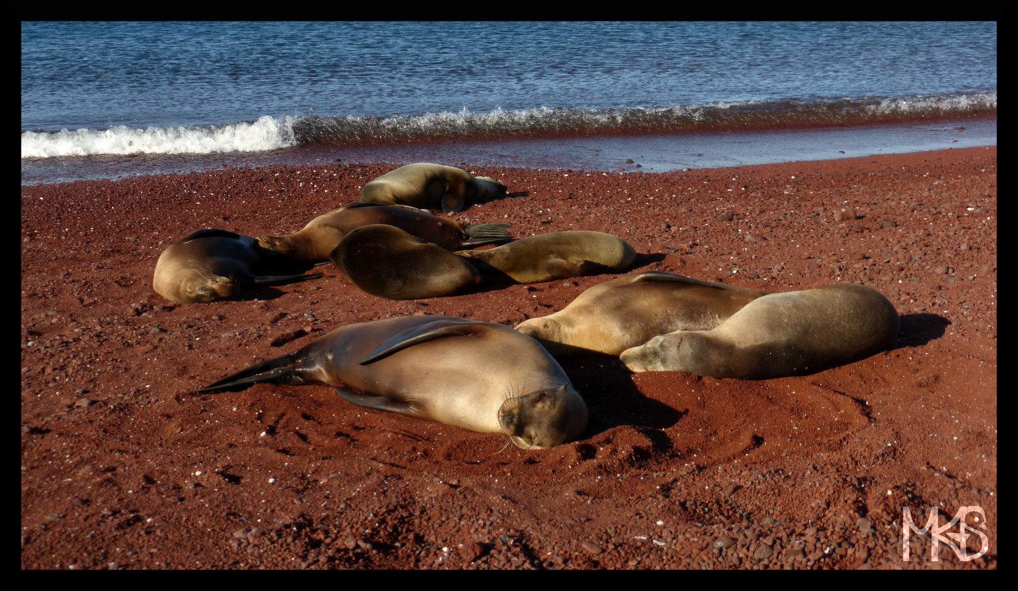 Sea lions and red sand