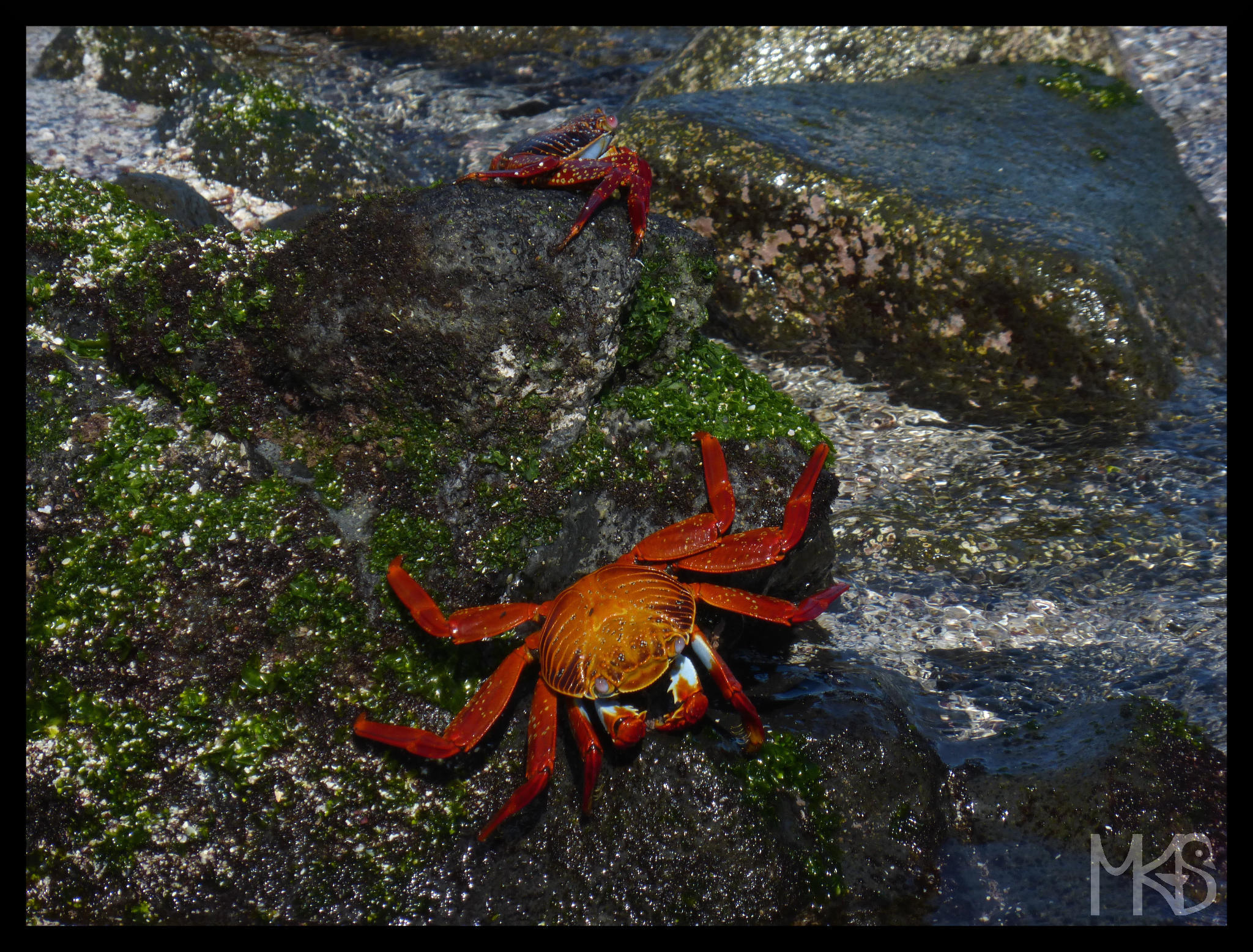 Red rock crabs