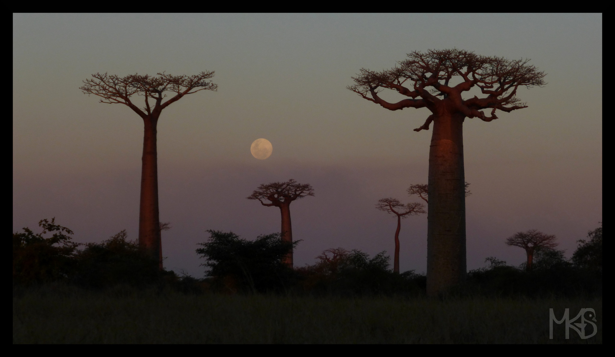 Baobab trees and the Moon