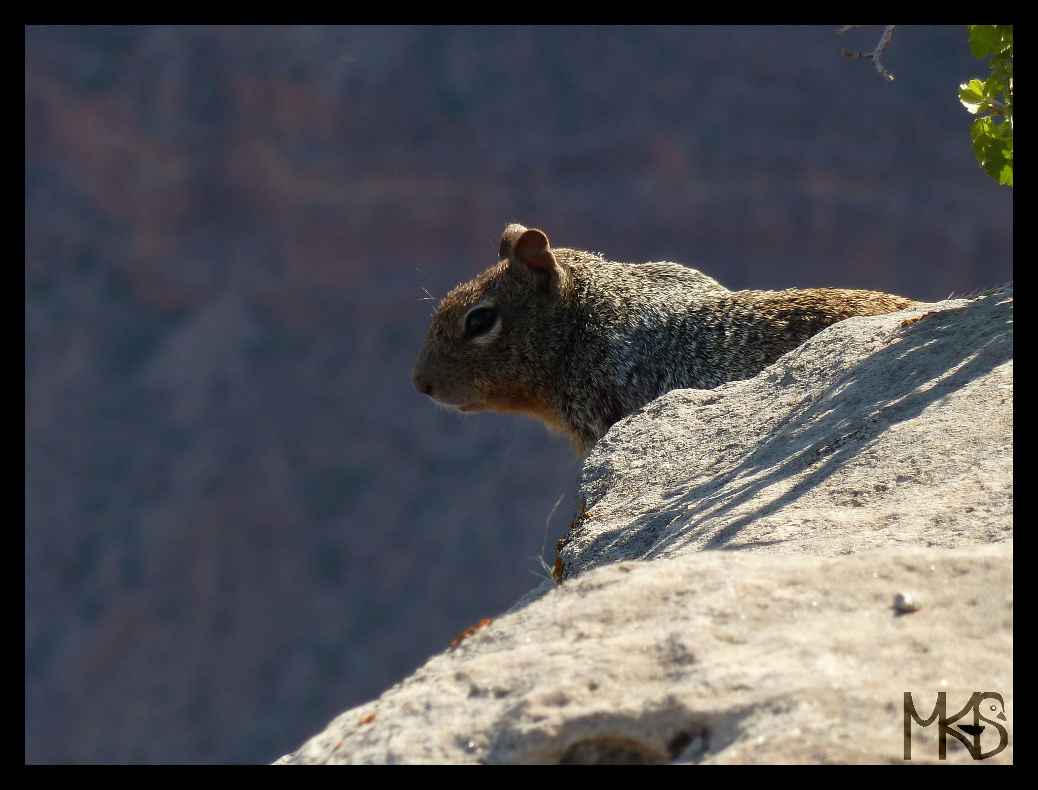 Chipmunks in Grand Canyon