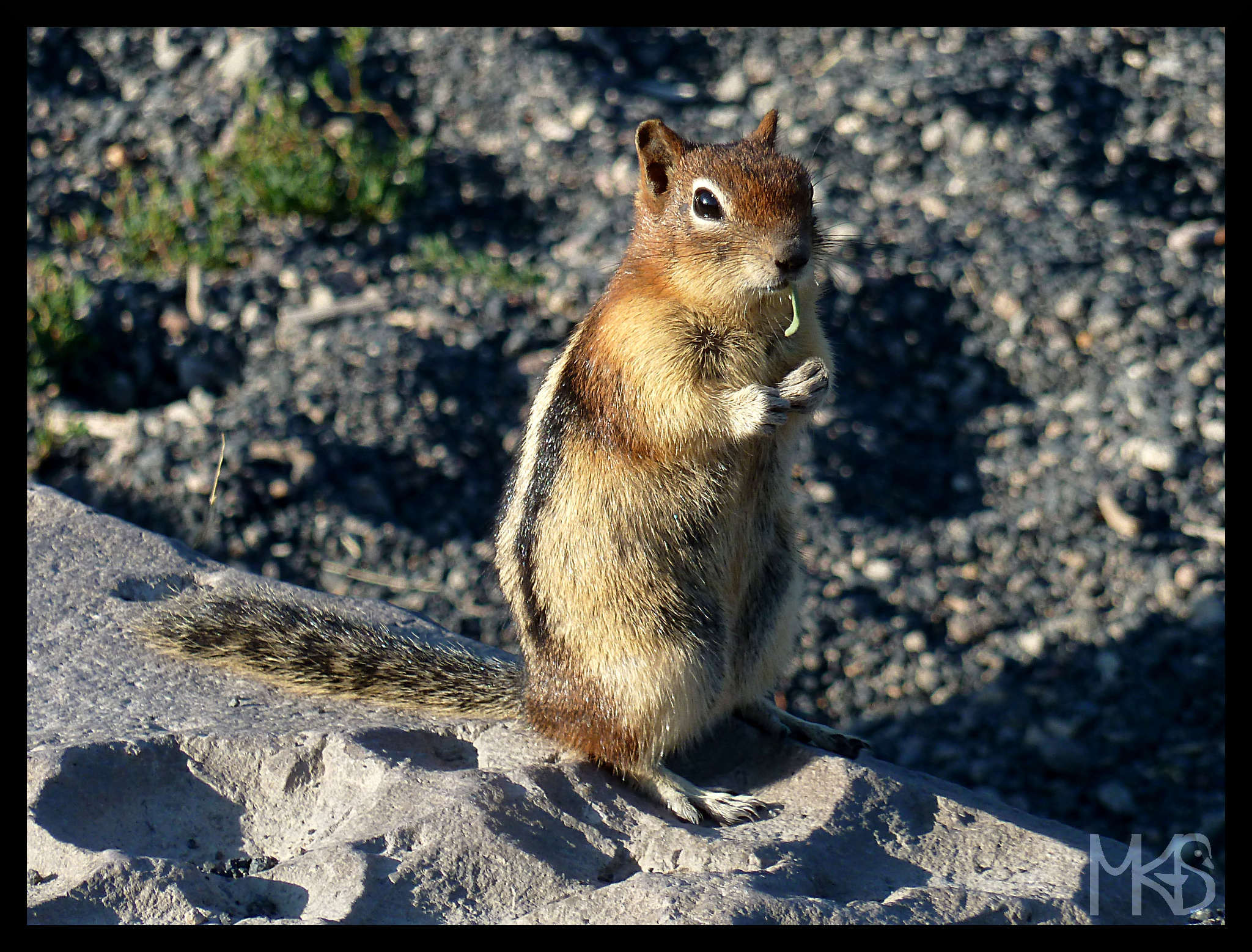 Chipmunk in Yellowstone