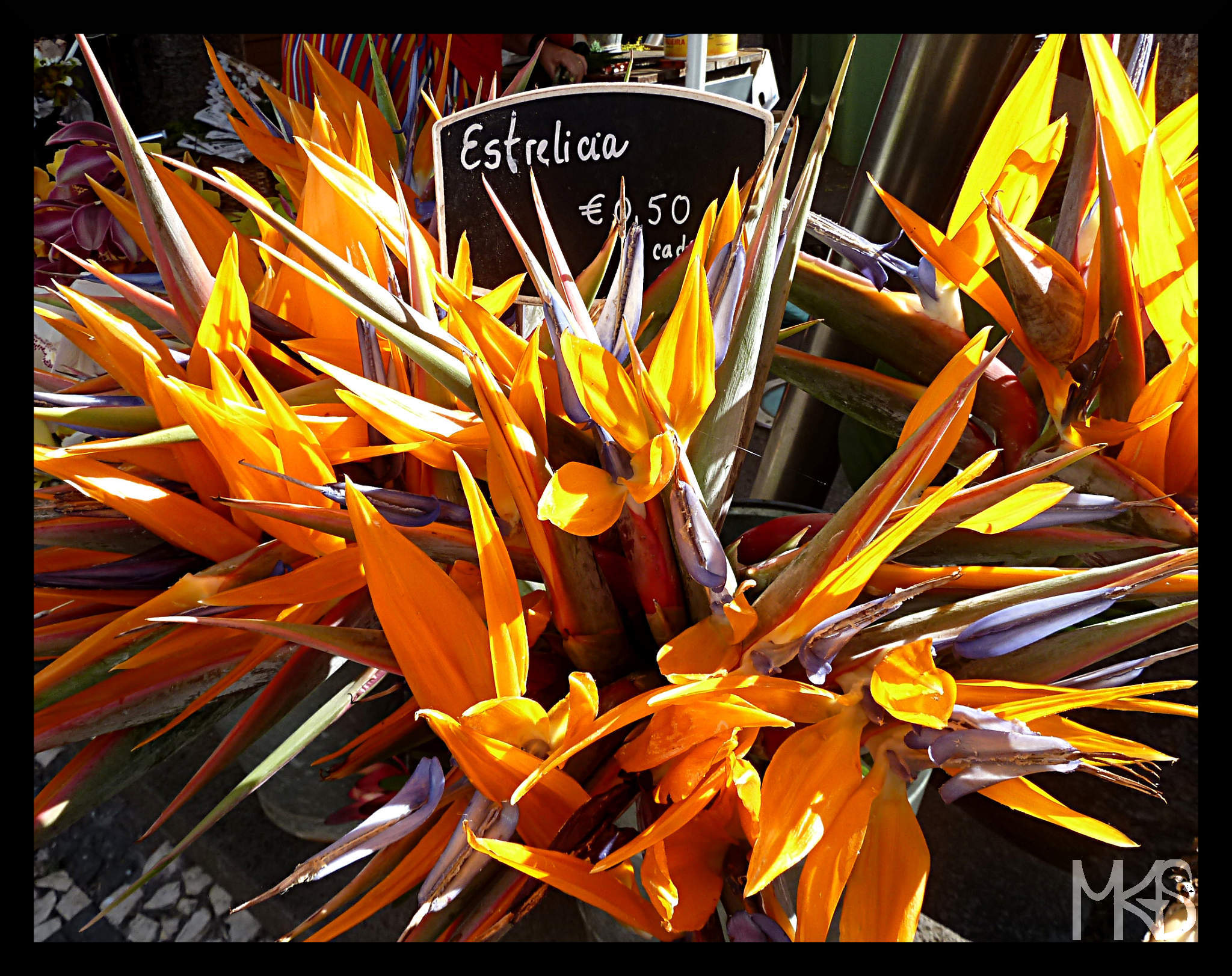 Strelitzia reginae (estrelicia), known as Strelitzia, Crane Flower or Bird of Paradise.