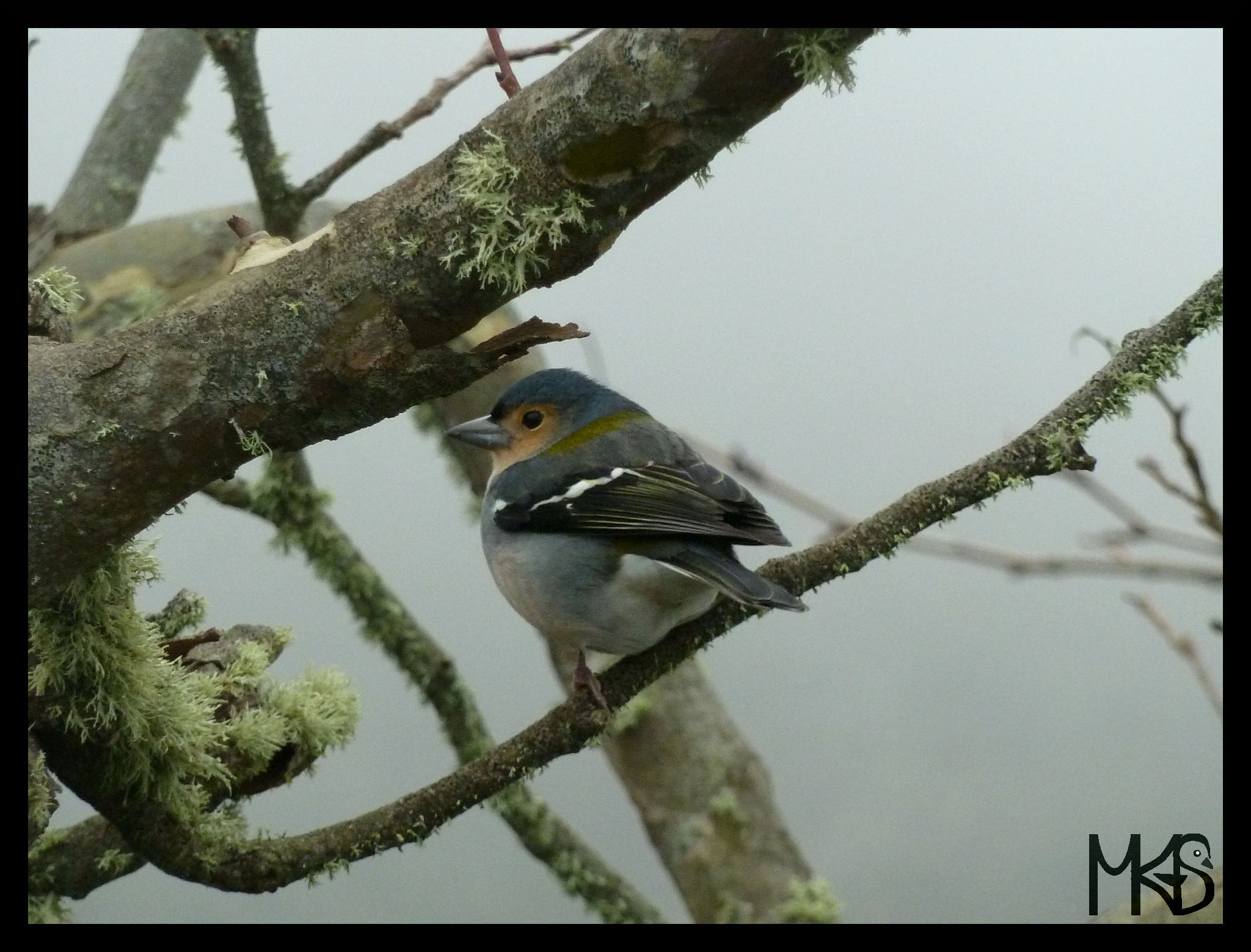Common chaffinch in Madeira