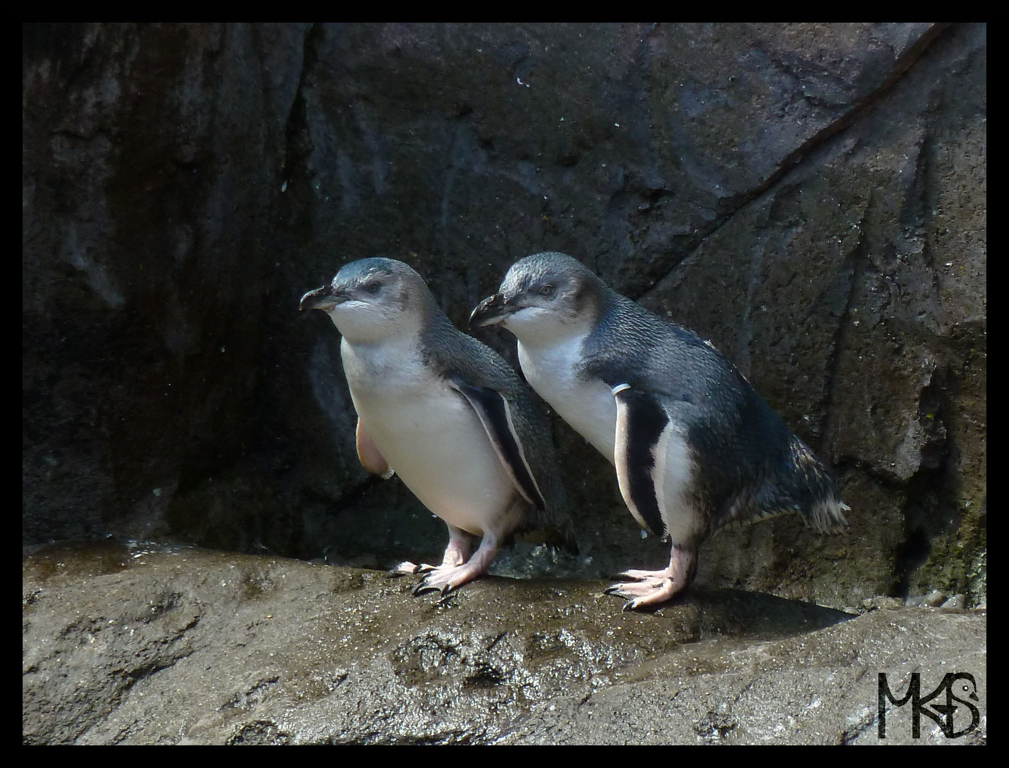 Little blue penguins, New Zealand