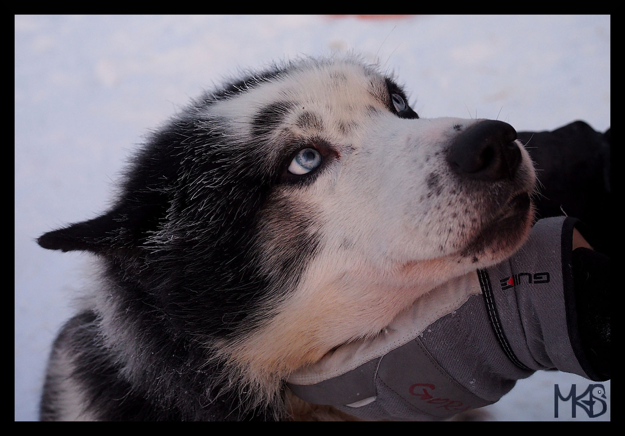 Sled dog, Snow Hotel, Kirkenes, Norway