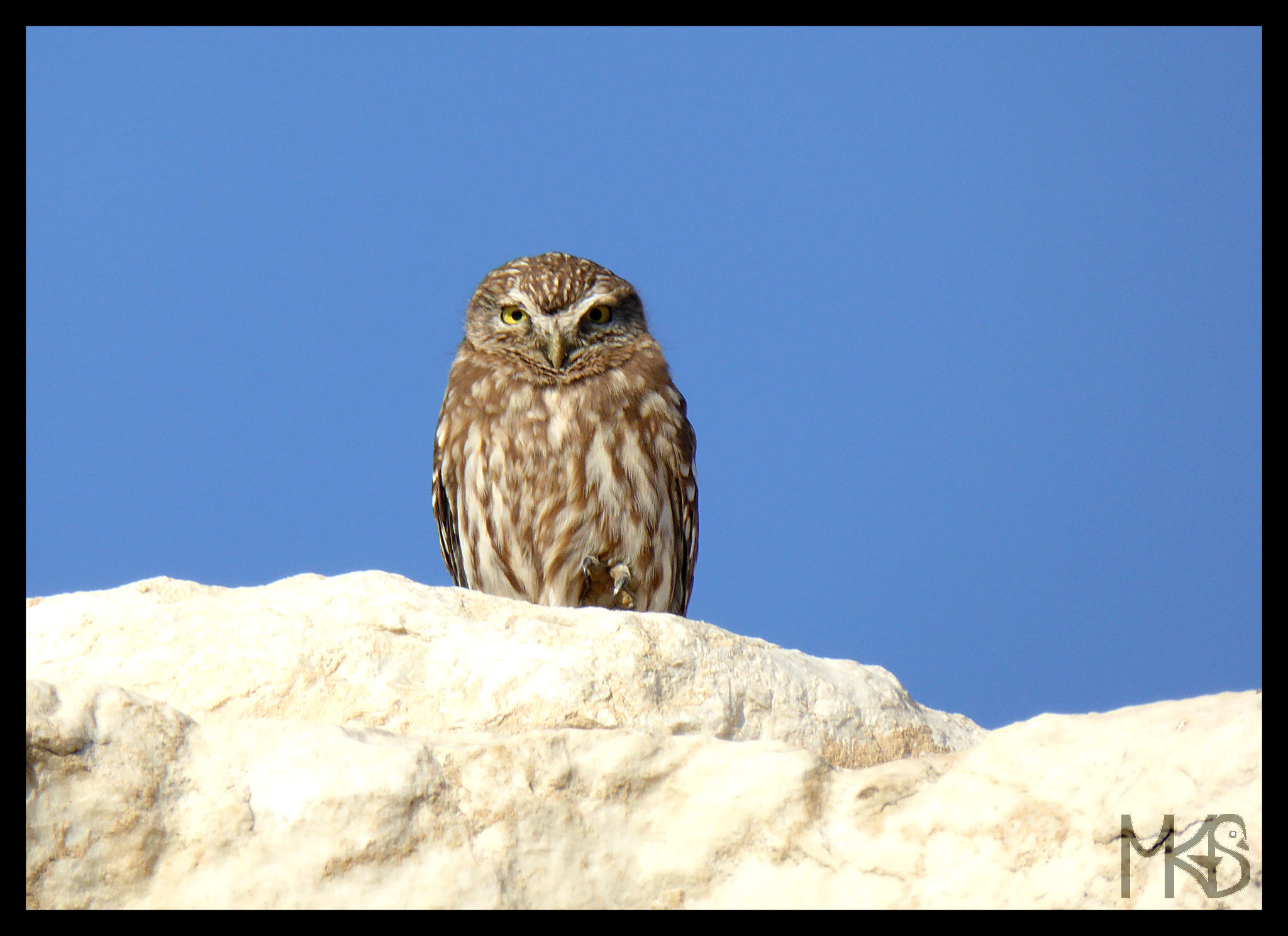 Owl in Laodikya, Turkey