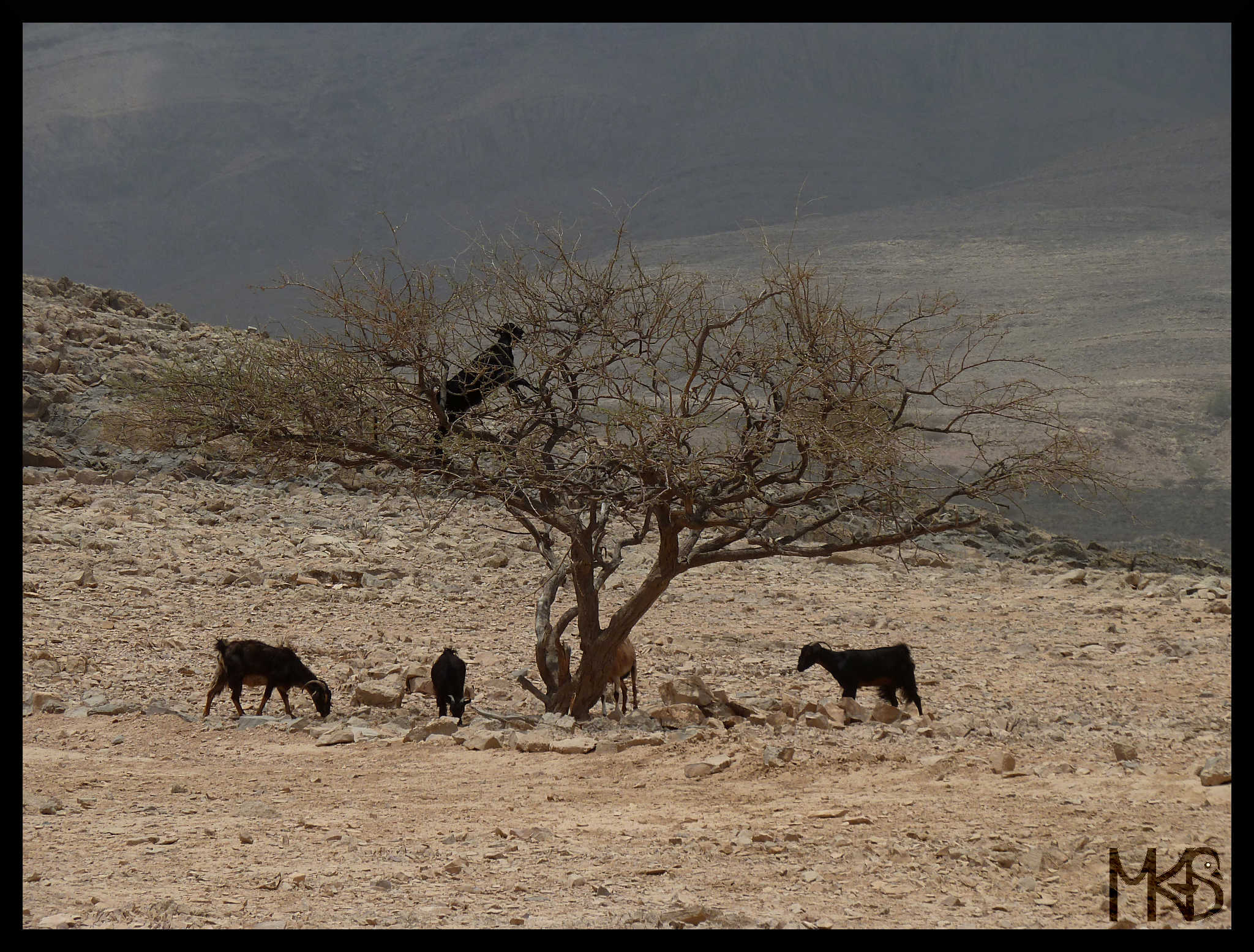 Goats in Oman