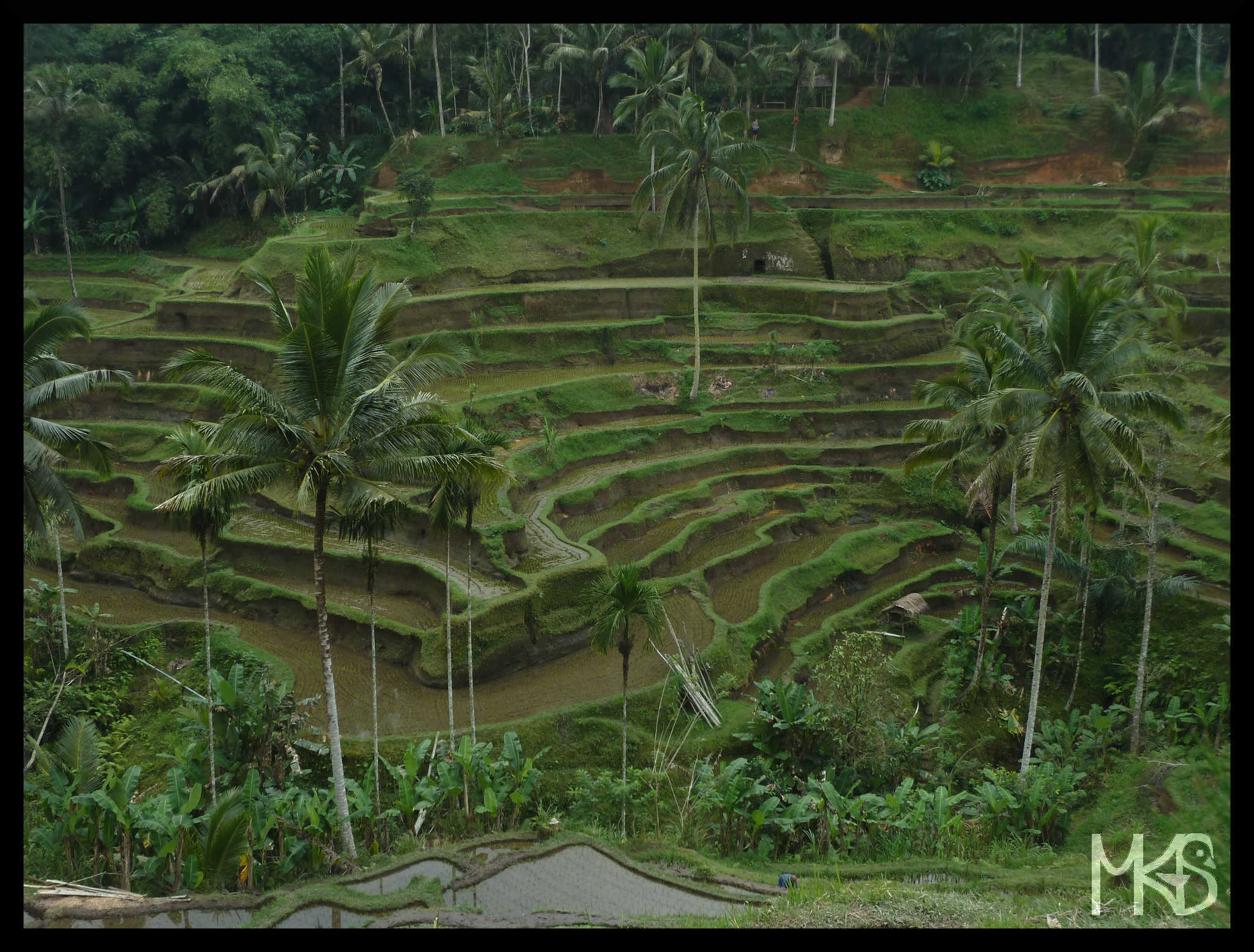 Rice terraces, Bali Island